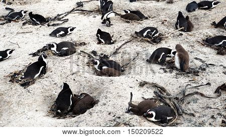 colony of South African black-footed penguins at the Boulders Beach in Simon's Town on the False Bay in South Africa, parents animals with their young