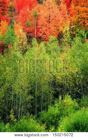 Forest of maple and birch trees in fall autumn