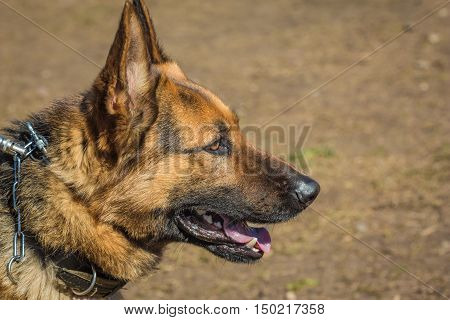 Head of the German shepherd closeup. Biting dog. Alsatian Wolf Dog. Deutscher dog