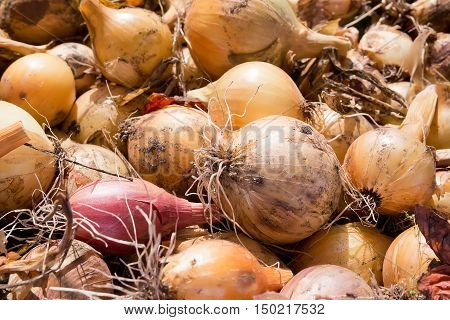 Mature bulbs are dried in the sun