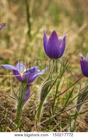 Close-up of stalks and buds pasque-flower(Pulsatilla vulgaris) growing in the forest