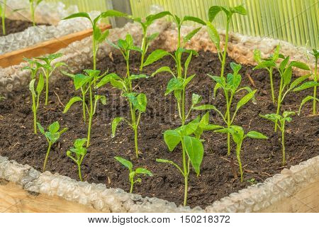 Seedlings of pepper with water drops planted in a box with the ground