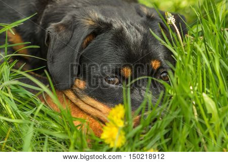 Young Rottweiler puppy dog lying in the green grass