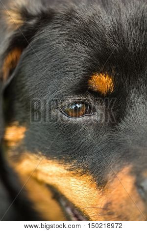 Close-up of a puppy dog eyes Rottweiler