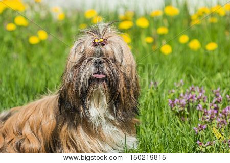 Shih Tzu young dog outdoors among green grass field