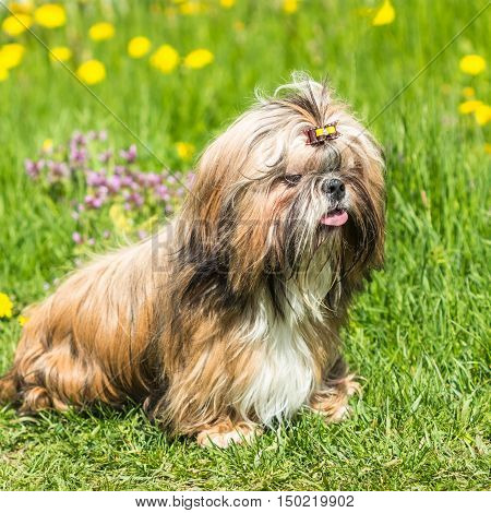 Happy Shih Tzu dog with a funny face and his tongue hanging out against a background of green grass outdoors