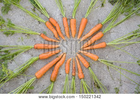 Top view on freshly picked organic carrots with green tops placed in a circle on concrete background. Healthy food and lifestyle concept.