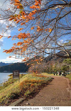 Pedestrain walkway under row of tree in autumn near Kawaguchi lake (Kawaguchiko) Yamanashi prefecture Japan