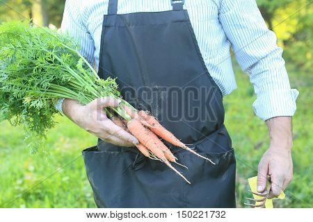 gardener man holding carrot harvest in a hands