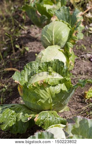 Cabbage growing in the garden. Big fresh cabbage on soil. organic vegetables in the farm. Harvest in autumn.