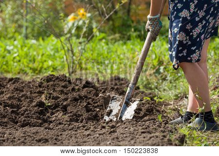 Digging potatoes with shovel on the field from soil. Havest in autumn