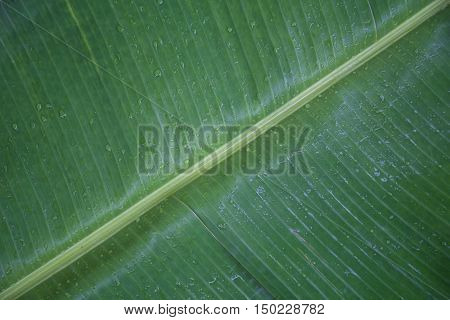 nice wet green banana leaves with stalk