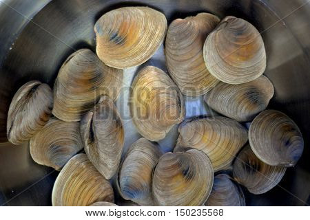 Preparing Littleneck Clams for Shucking: clams are covered in salt water solution insde a stainless steel bowl.