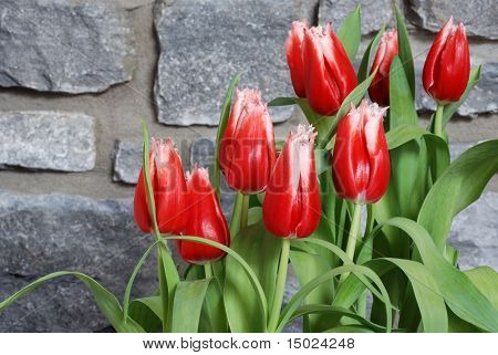 Red and white fringed tulips against a stone wall background.