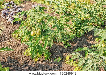 many ripening green tomatoes in the garden on summer