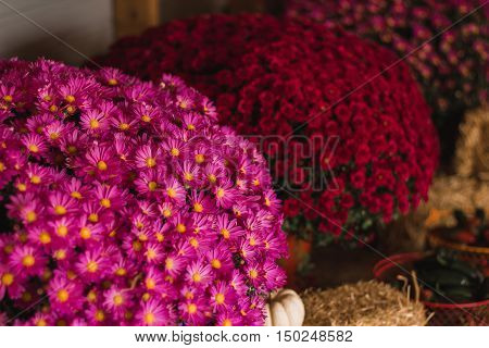 mums in shades of pink and red