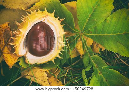Chestnuts In The Shell, Chestnut On A Green Grass, Raw Chestnut