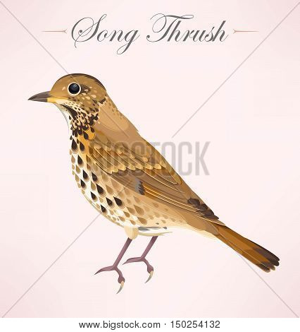 Vector illustration of high detailed song thrush