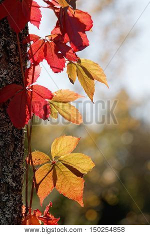 Virginia creeper with red and green leafs in backlight climbing upp a trees during the autumn