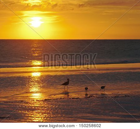 Seagulls in silhouette walking in the ocean, at sunset.