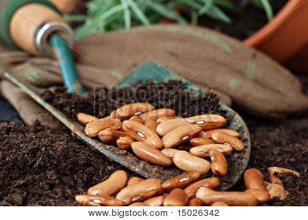 Gardening still life with bean seeds and potting soil in spade.  Work gloves and plant in background.  Macro with shallow dof.