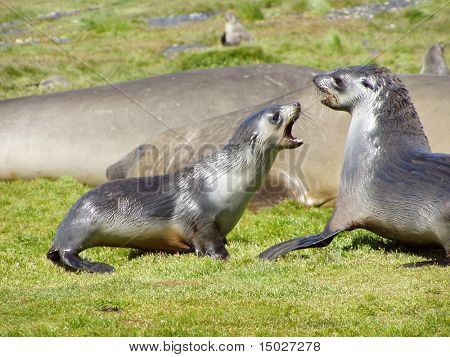 Two seals fighting against each other