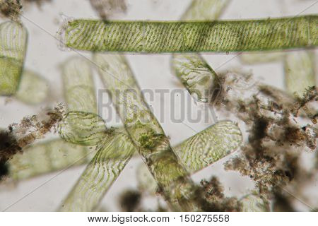 Spirogyra also water silk mermaid's tresses blanket weed. Genus of filamentous charophyte green algae of the order Zygnematales named for the helical or spiral arrangement of the chloroplasts that is diagnostic of the genus