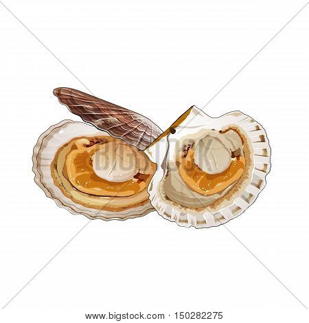 Scallop, isolated raster illustration on white background