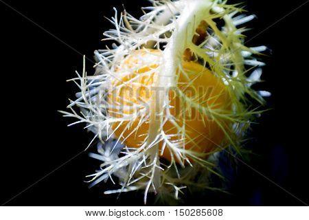 Ripe Yellow Passiflora Foetida Fruit On Black Background.