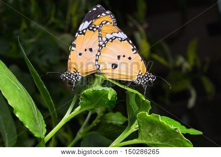 Plain Tiger Butterfly (danaus Chrysippus Butterfly) Butterflies Mating With On Background.