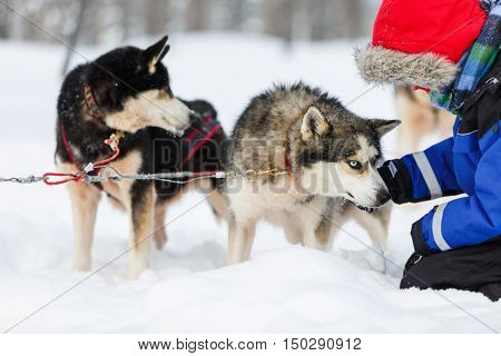 Boy having a cuddle with husky sled dog in Lapland Finland
