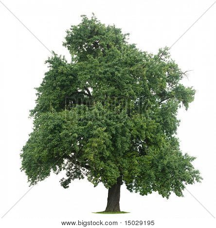 Isolated pear tree against a white background