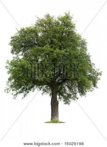 Old pear tree isolated against a white background