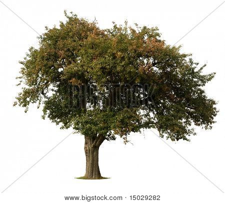 Apple Tree in early Fall isolated against white