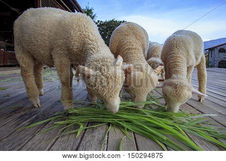 merino sheep eating ruzi grass leaves on wood ground of rural livestock farm