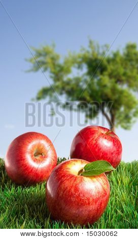 Apples on Grass with an apple tree in the background