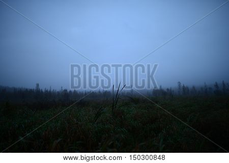 Reed over the marsh autumn foggy morning