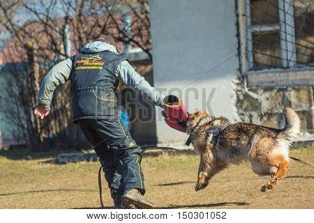 Gomel Belarus - March 27 2016: Dog handler German Shepherd and fulfill protection. Biting dog. Alsatian Wolf Dog. Deutscher dog