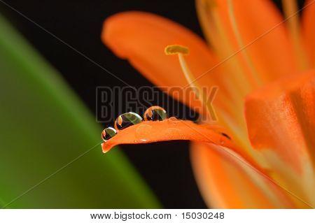 drei Kristall-Tropfen an der orange Blüte