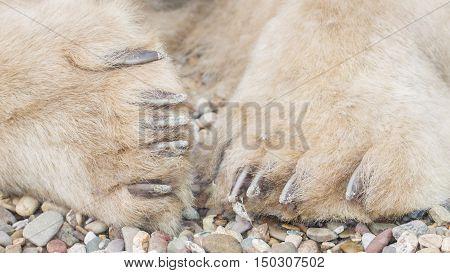 Polar Bear Paws