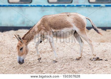 Persian Onager (equus Hemionus Onager)