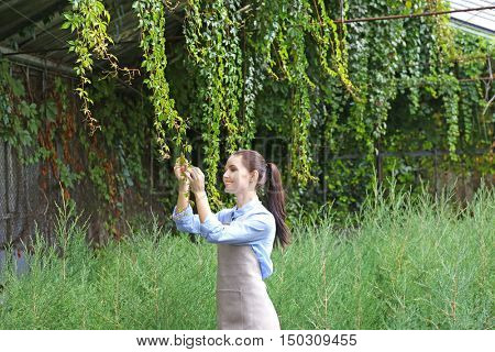 Pretty young gardener looking after virginia creeper and juniper in greenhouse