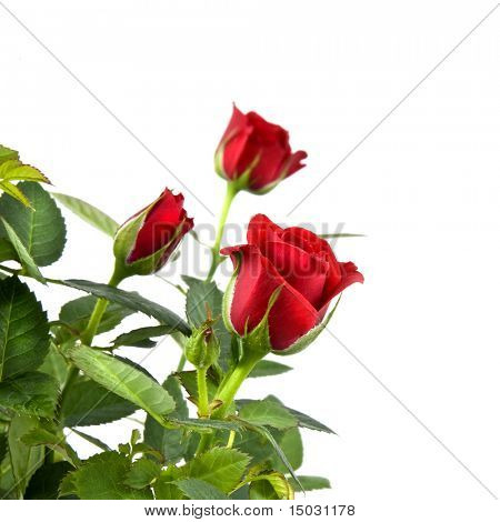 red rose bouquet isolated on white