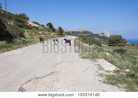Goats in the mountains in Kos island Greece
