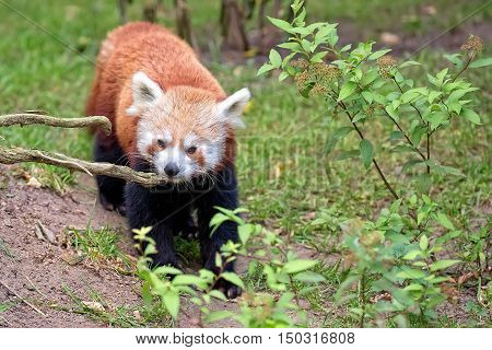 Red panda bear in the wild in a clearing