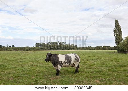 meat cow in flanders meadow between gent and brugge in belgium on cloudy summer day