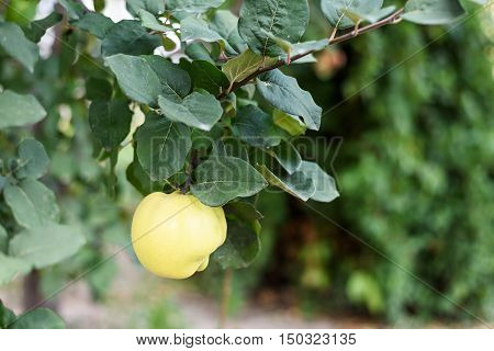 Yellow ripe quince on a tree in Moldova