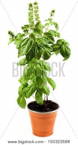 Fresh Blooming Green Lush Foliage Basil in Orange Flower Pot isolated on White background