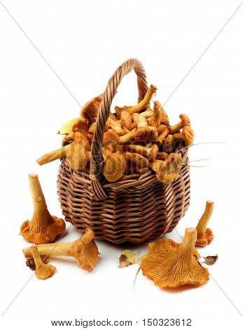 Arrangement of Fresh Raw Chanterelles with Dry Leafs and Stems in Wicker Basket closeup on White background