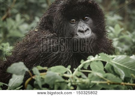 Front view closeup of young mountain gorilla in the wilderness of the forest